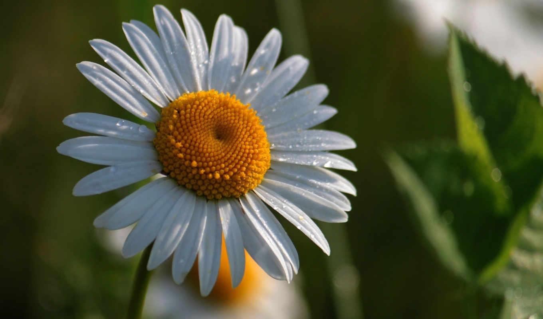 цветы, воды, макро, разных, каплях, ромашки,