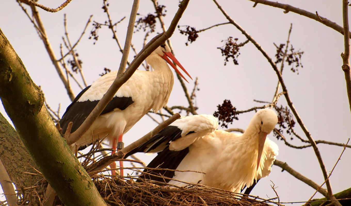 white, stork, williams, наш, backround, resolution, tranh, изображение,