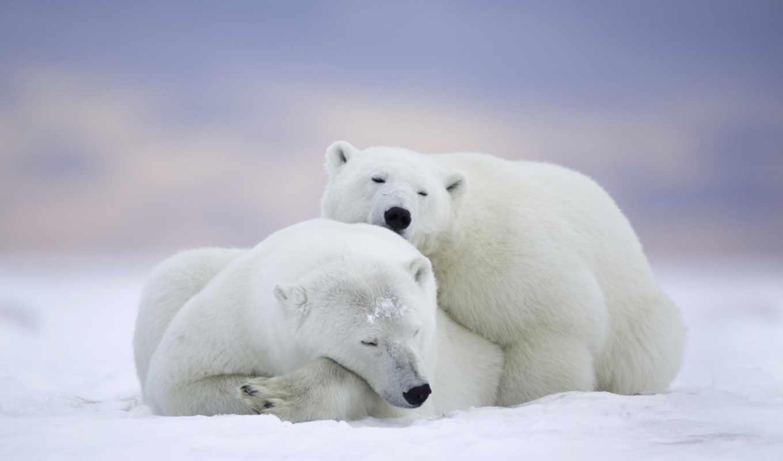 медведи, белые, белого, красивые, anjing,,