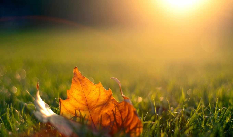 leaf, природа, листья, планом, крупным, трава, maple,
