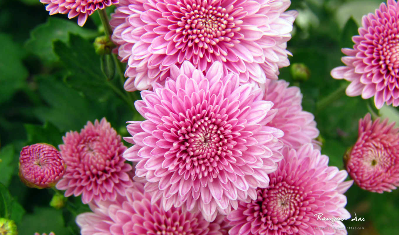 chrysanthemum, цветы, хризантемы, цветов, февр,
