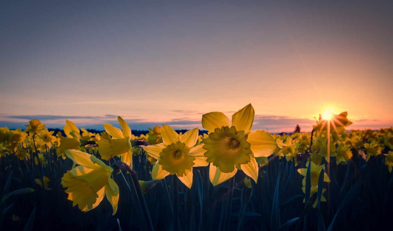 нарциссы, цветы, лепестки, желтые, часть, поле,