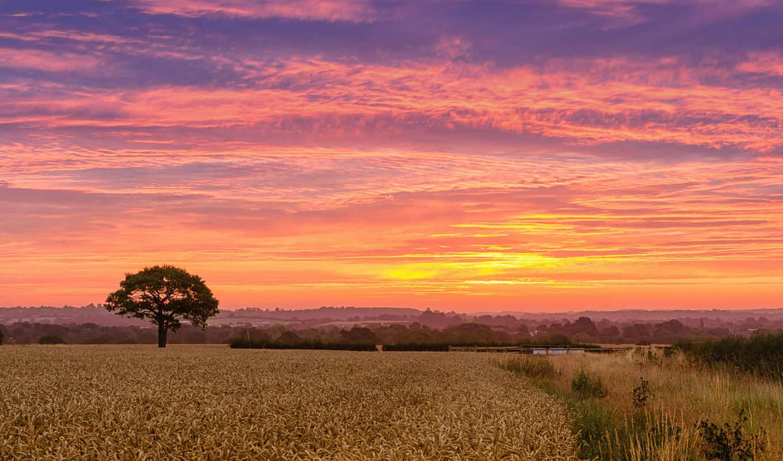 пшеница, поле,