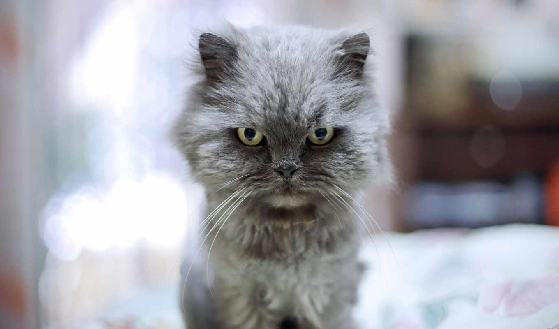 кот, глаз, spitfire, взгляд, котэ, недовольный, смотреть