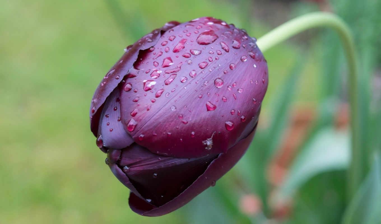 цветы, тюльпаны, бесплатные, макро,