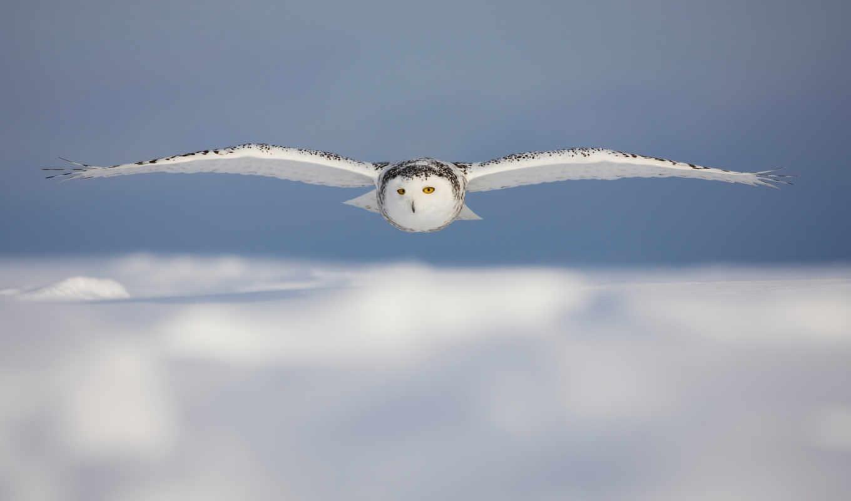 животные, картинка, совы, птицы, полет, owl, красиво, snowy, вид, картинку, кнопкой, мыши,