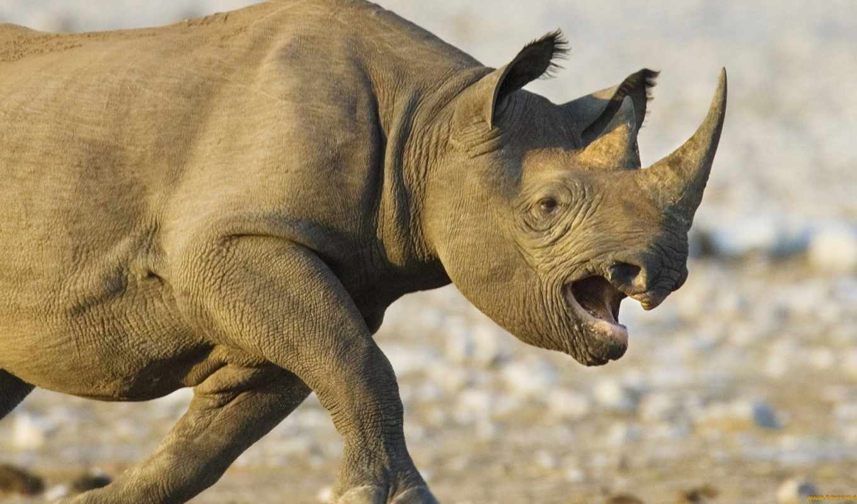 носорог, носорогов, оп, злой, фотографии, интересные, изображения,