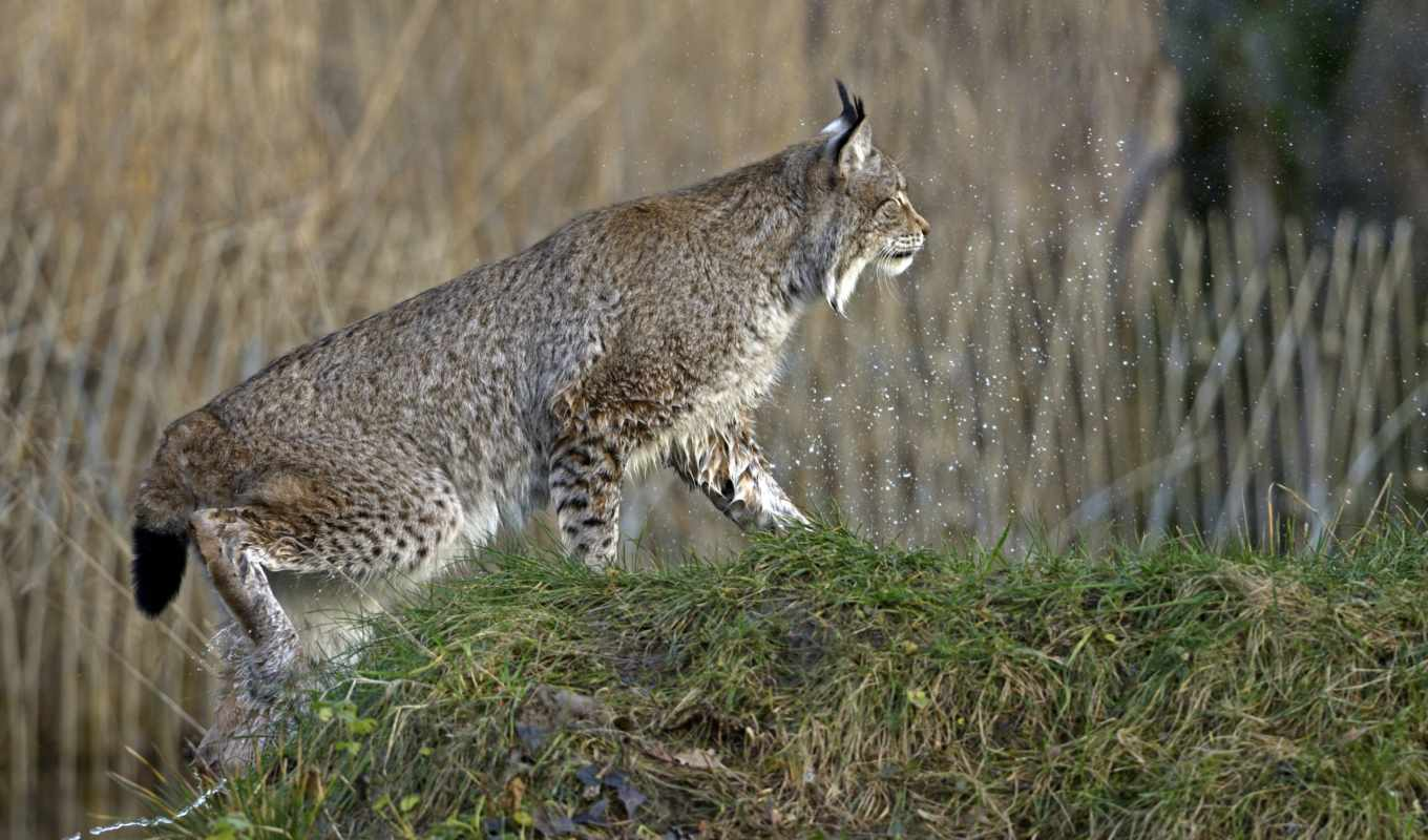 pictures, grass, photos, every, day, only, screensavers, new, lynx, cat, июня,