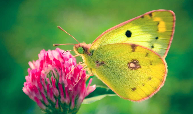 бабочка, clover, клевере, зелёный, клевера,