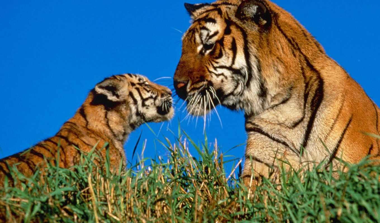 тигрица, кошки, тигрёнок, cats, поделись, картинкой, друзьями,