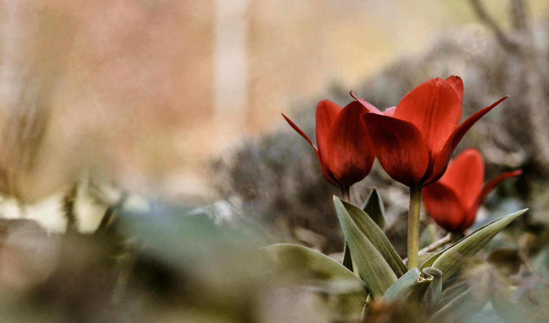 тюльпаны, цветы, совершенно, природы, весна, категория,