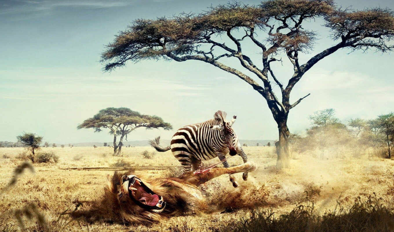 funny, zebra, lion, pictures, animal, wild, animals, льва, напала, desktop, humor,