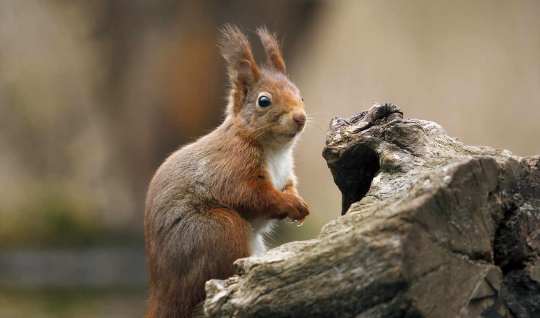 squirrel, животные,
