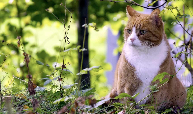 природа, summer, кот, разных, природе, kot, biały, rudo, rudowłosa,