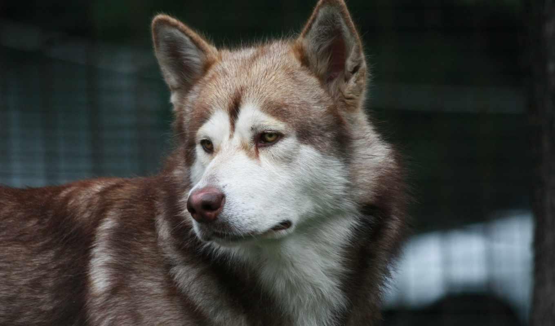картинку, картинка, собака, собаки, хаски, malamute, alaskan, zhivotnye, грусть,
