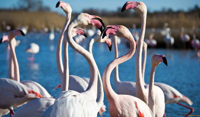 фламинго, африка, west,
