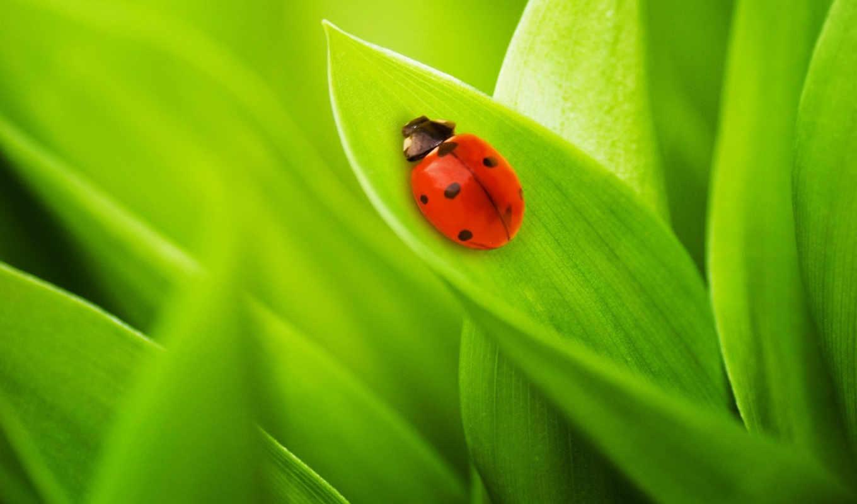 божья, коровка, природа, макро, жуки, трава, листья, green, лист, насекомое, картинку,