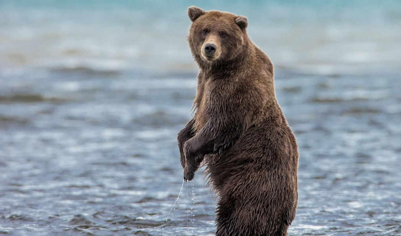 медведи, hintergrundbilder, kostenlose, бурые, für, click, para, животные, desktop, foto,