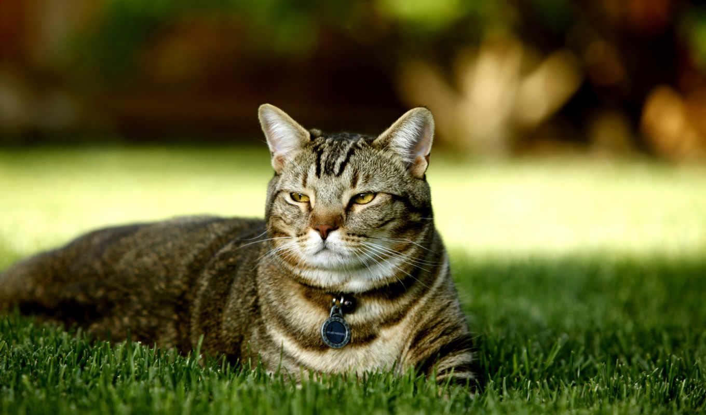 кот, кошек, природа, трава, фотографии, природы, лесов, красивейшей, британской, черепаховой, коты, закатов, заставки, котов, графика, сорт,