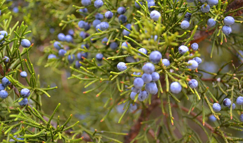 bush, можжевельник, ягоды,