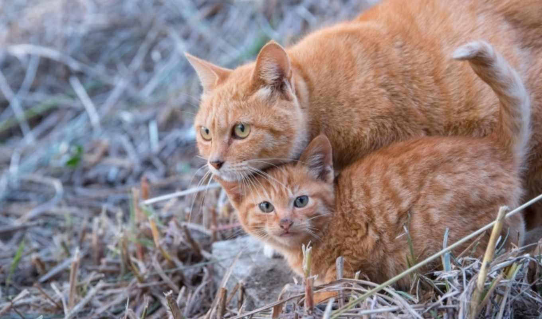 zhivotnye, кошки, кот, рыжие, котята, мэн, кун, бесплатные, cats,
