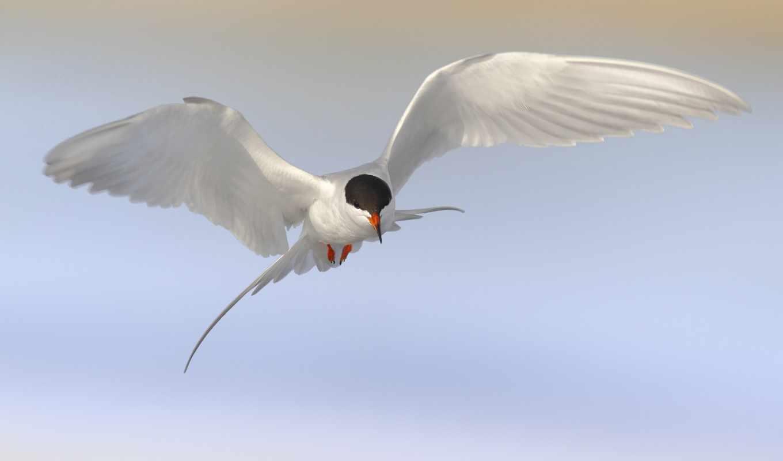 чайка, птица, полет, крачка, zhivotnye, прикол, yang, подстилка, birds,