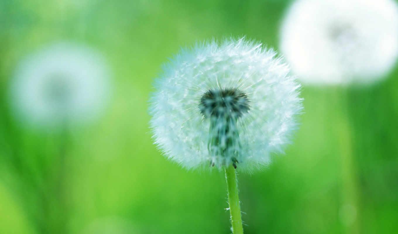 одуванчик, пушинки, makro, растение, цветок,