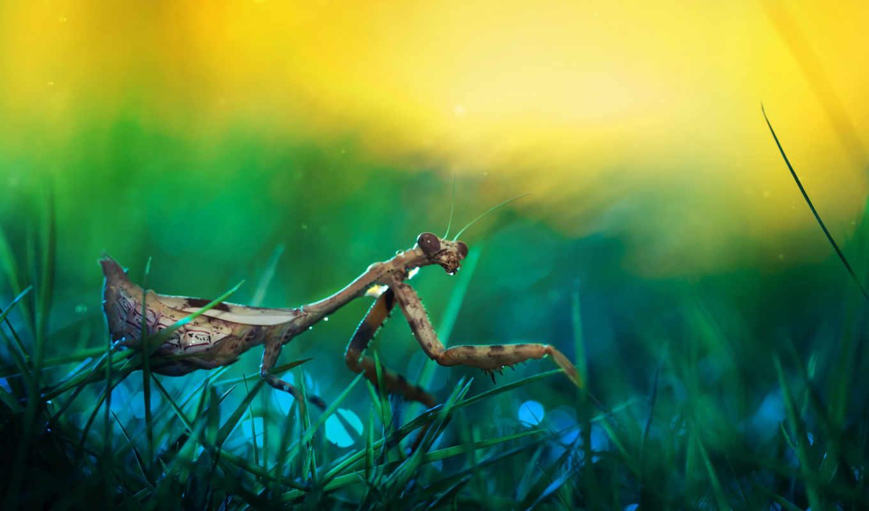 mantis, насекомое, любой, коллекция, вкус, макро, красивые,