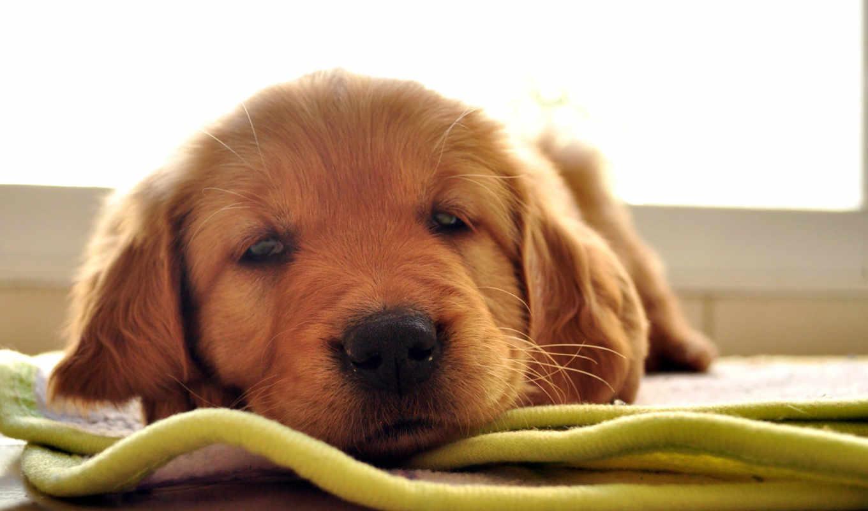 retriever, щенки, собаки, браун, золотистый, than,
