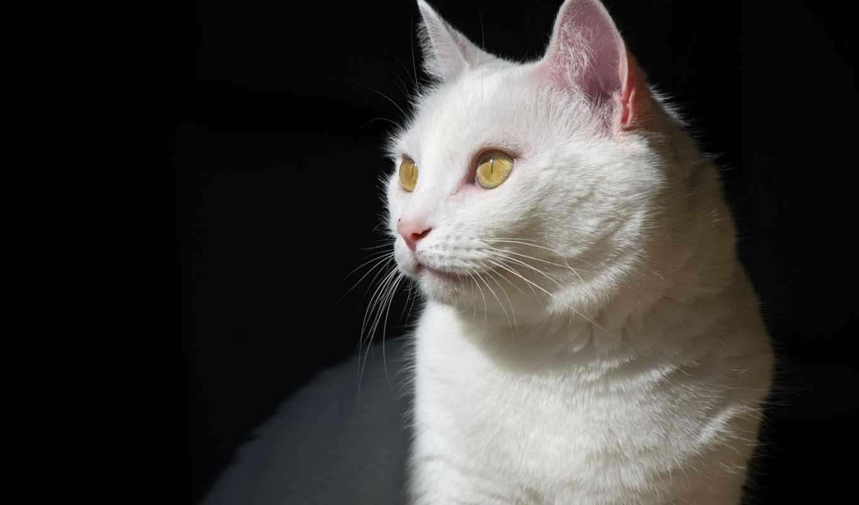 stars, разных, кот, разрешениях, глазами, белая, сидит, white, зелёными,