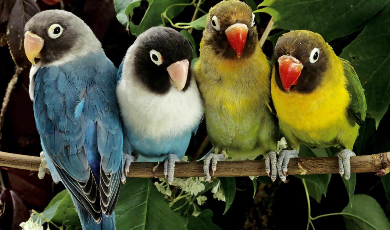 неразлучники, попугаи, картинка, трясогузки, сайте, неразлучников, попугаев, ara, корелла, попугай,