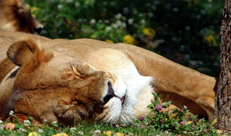 lion, desktop, , click, download, ulubionych, animals,