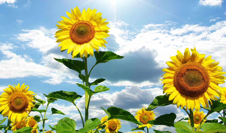 подсолнухи, небо, облака, цветы, семечки, листья, голубое, солнце, желтые, sunflowers, лето, desktop, sunflower, картинка, днем, آفتابگردان, картинку,