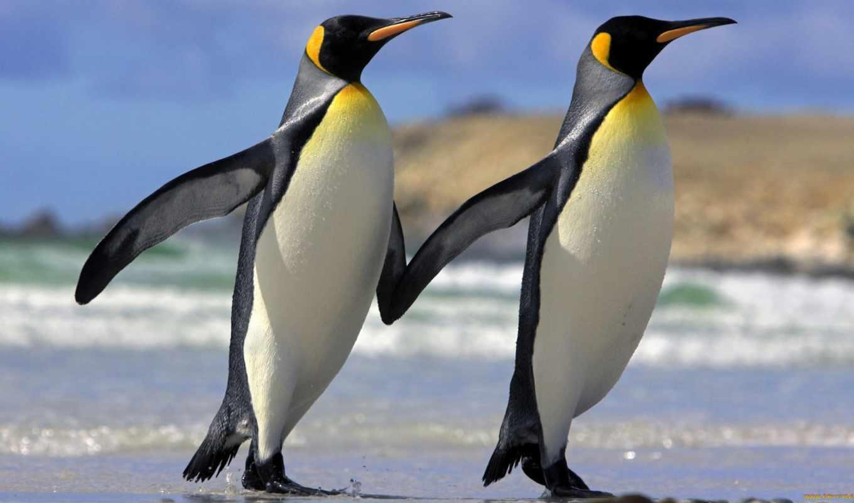 пингвины, смешные, пингвинов, почему, королевские,