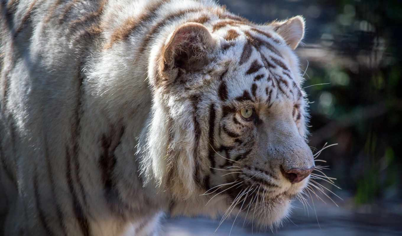 тигр, desktop,