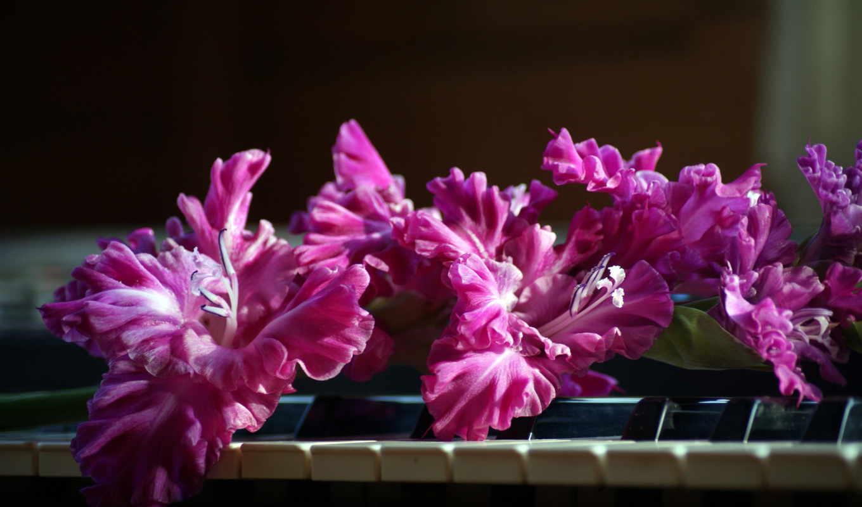 розовые, гладиолусы, цветы,