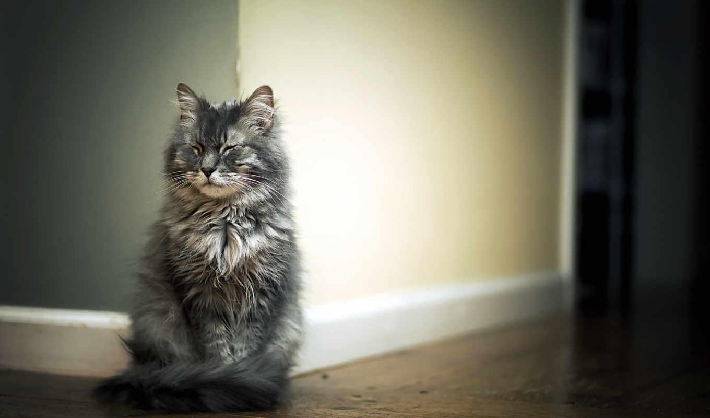 кот, сидит, паркет, серая, кошаки, кошки, свет, zhivotnye, страница, разных,