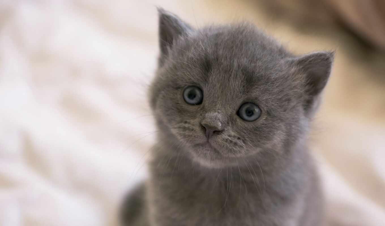 серый, глаз, blue, котенок, british, kotenk, кот, порода, взгляд