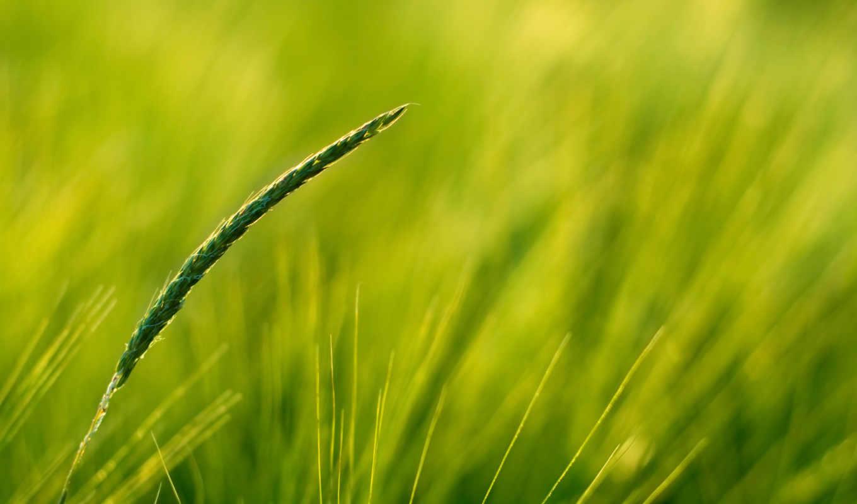 nature, поле, пшеница, небо, macro, grass, марта, fields,