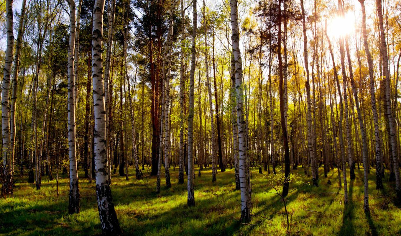 лес, grove, mixed, березы, sun, природа, широкоформатные, день,