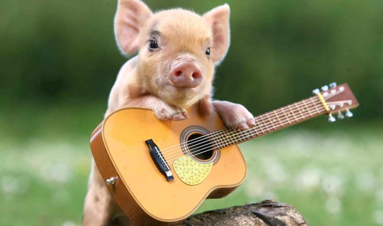 поросята, just, эти, милые, свинья, миниатюрные, после, очарование, смешные, funny, гитара,