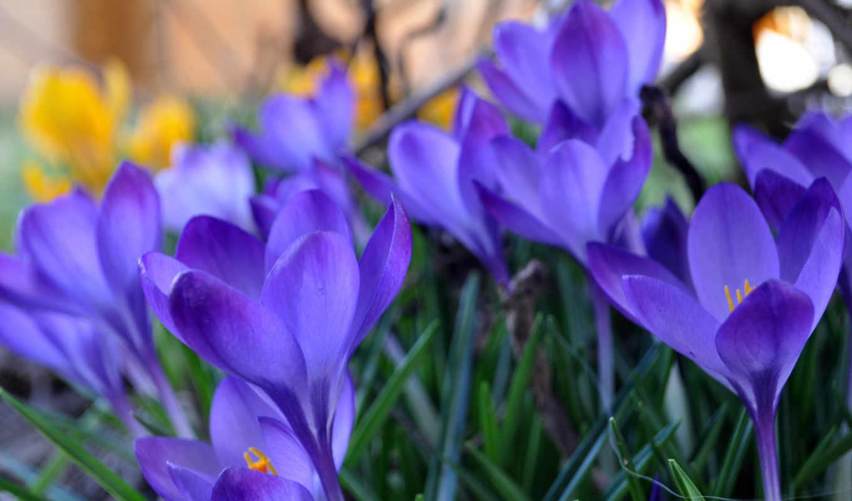 крокусы, трава, синие, макро, весна, лепестки, бутоны,
