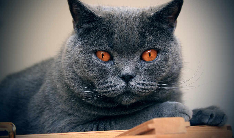 шартрез, кошка, картезианская, породы, порода, котиком, кошек, chartreux,