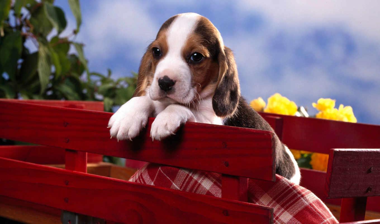 щенок, beagle, бигля, породы, щенки,