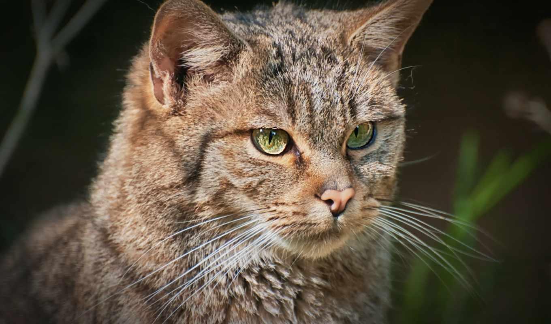кот, лес, european, взгляд, portrait, картинка, miniature,