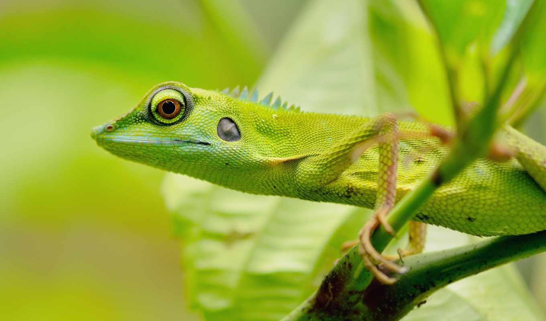 , ящерица, зеленая, глаза, ветка,