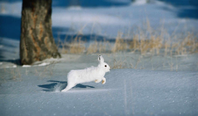 заяц, зимой, зайца, зайцы, охоты, вид,