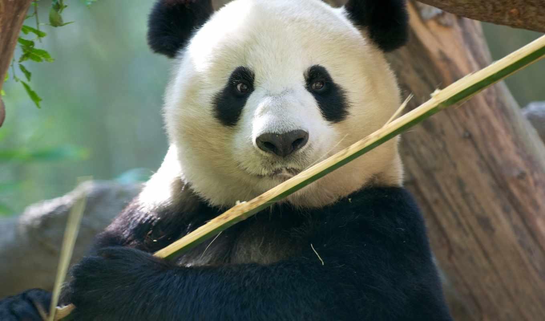 взгляд, смарт, панда, zhivotnye,