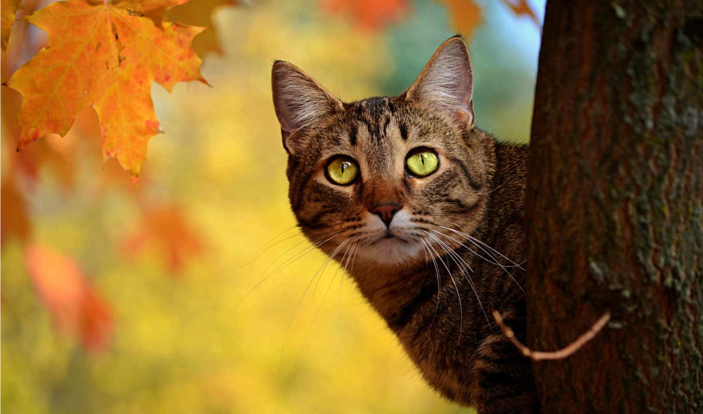 кот, дерево, осень, ствол, выглядывает, листья, желтые, кнопкой,