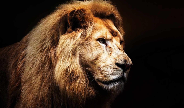 black, lion, pictures, лев, грива,